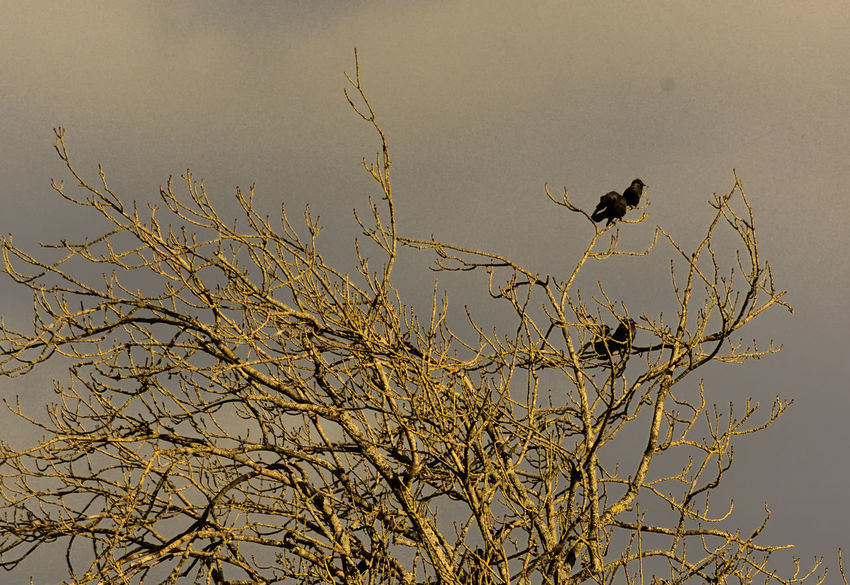 At Waverley Abbey Atmospheric Sky Bare Tree Beauty In Nature Bird Branch Corvids Jackdaws Low Angle View Moody Sky Nature Tranquil Scene Tree Corvus Monedula