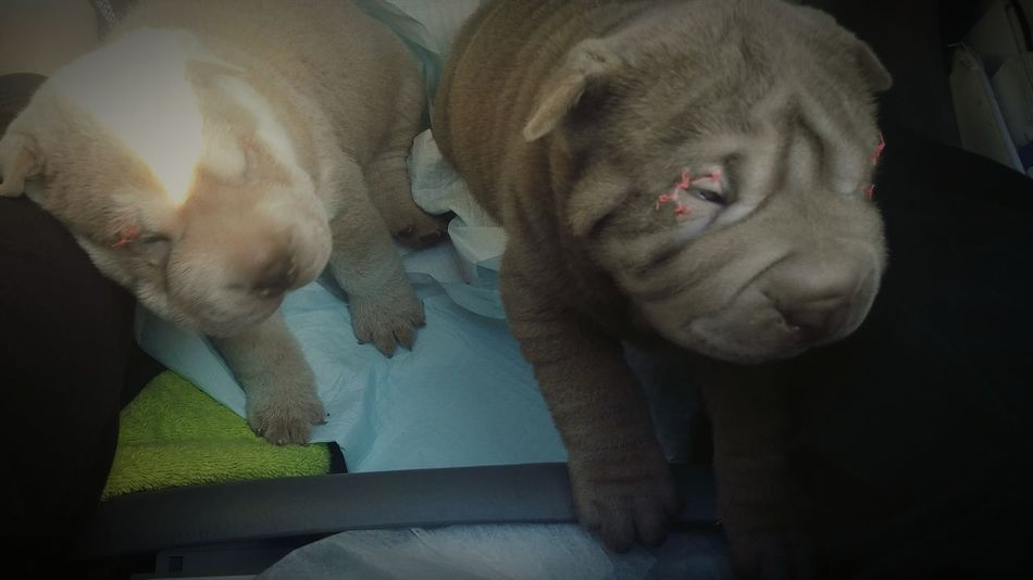 Two Is Better Than One Puppy Love Lovemyjob Ushipper Itswhatido Loveanimals Shar-pei Beautifuldog Iwantone