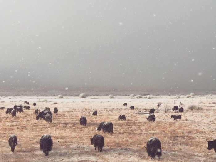 American bison walking on landscape against sky during snowfall