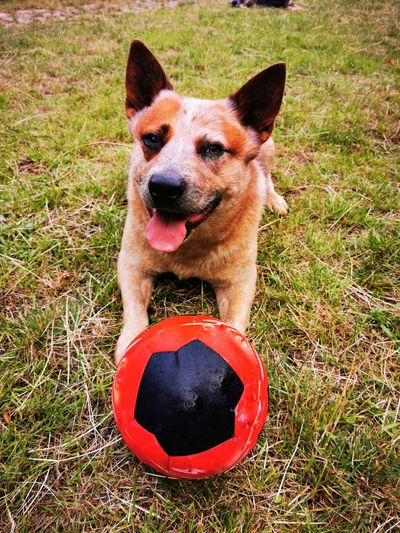 Portrait of dog with ball on field