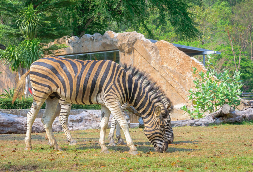 Zebra (Equus burchell's) stand and eating grass Animal Animal Themes Animal Wildlife Animals In The Wild Day Domestic Animals Full Length Grass Herbivorous Mammal Nature No People One Animal Outdoors Plant Semi-arid Side View Standing Striped Tree Vertebrate Zebra Zoo