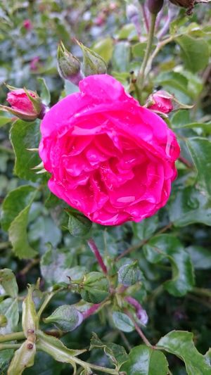 Red Rose 🌹...