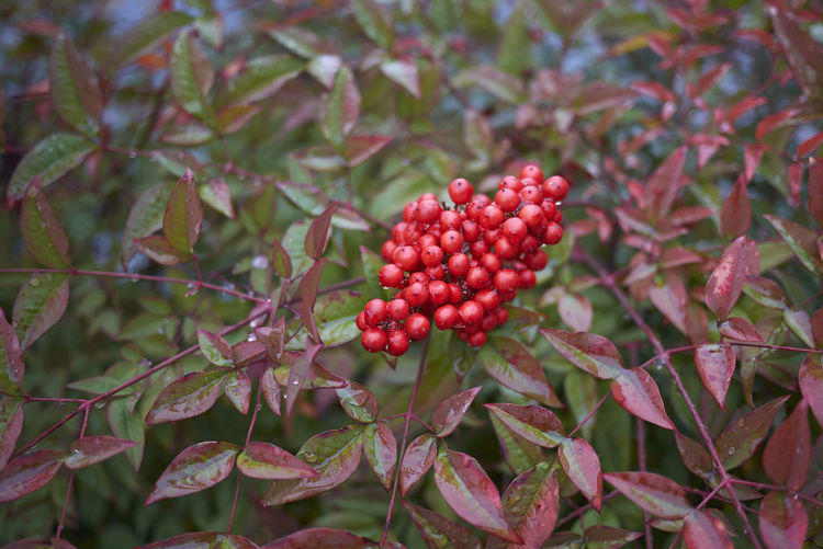 Nandina domestica shrub Plant Nandina Domestica Sacred Bamboo Heavenly Bamboo Nandina Shrub Leaves Leaf Multicolored Real People Green Branch Nature Outdoors Botany Garden Foliage Close-up Freshness Winter Berry Fruit Berries Cluster