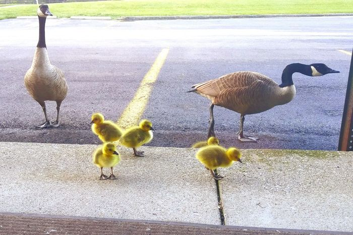 Canadian Geese Gosslings Family Of Geese Street Photography Streetphotography