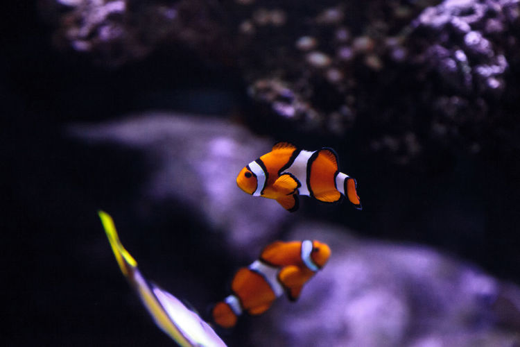Close-up of clown fishes swimming in sea