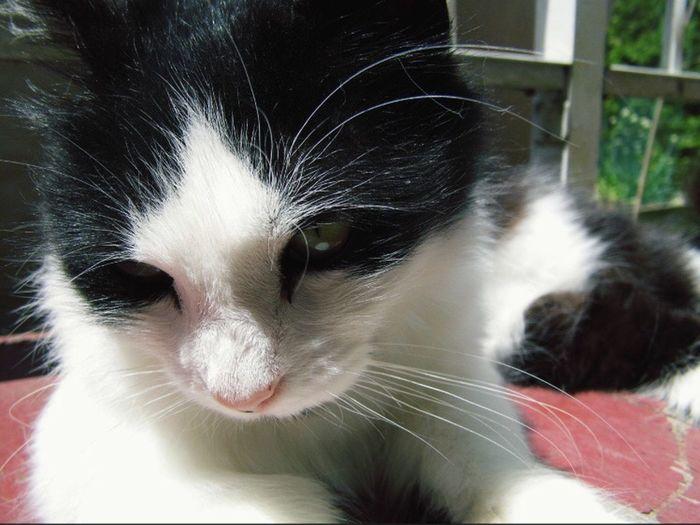 Pet Portraits Whisker Cat Feline