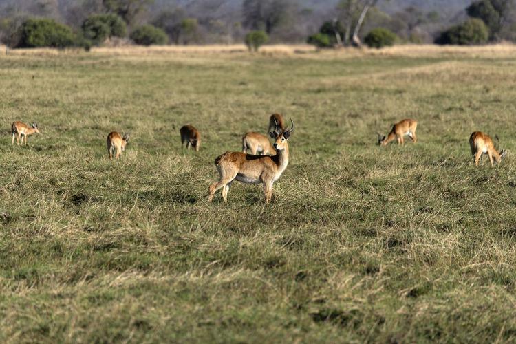 Impala in a field
