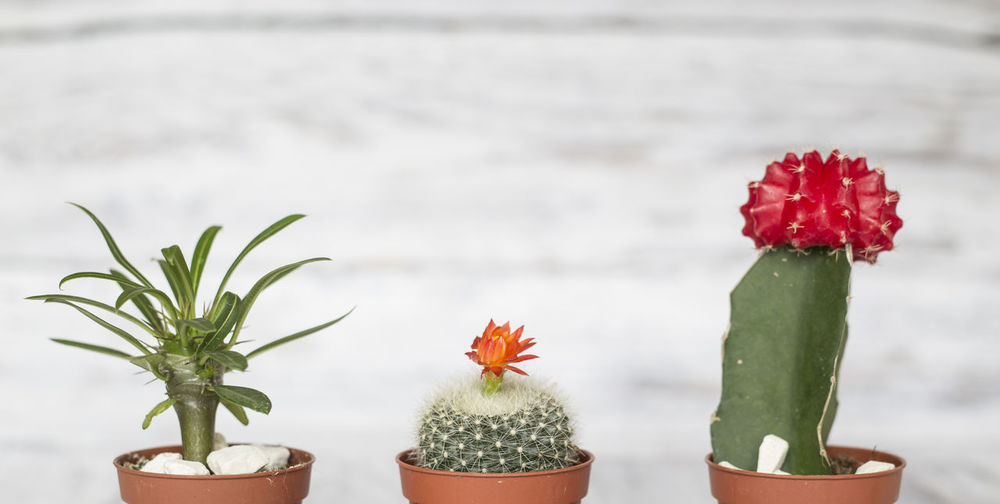 Potted cactuses against wall