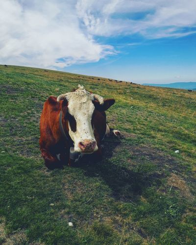 The Cow. Animal