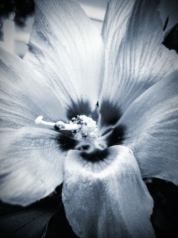 Flower Flower Head Petal Beauty In Nature Blossom Close-up In Bloom Extreme Close-up Detail Macro Stamen Softness Popular Eyeem Marketplace The Week Of Eyeem No People Monochrome Photography Depth Of Field Dramatic Angles Contrasts TakeoverContrast Botany Flower Porn Flower Photography Flower Stamen