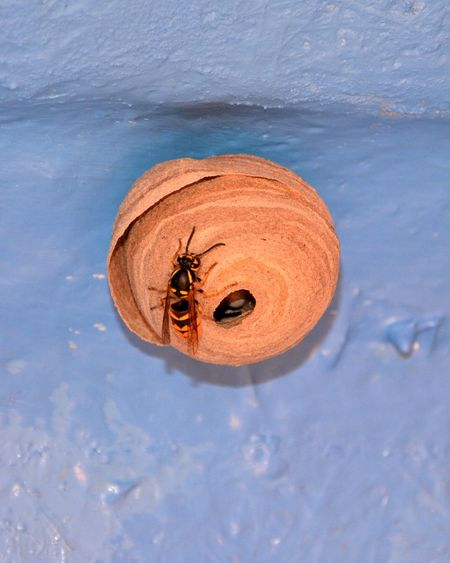 Wespennest in unserem Wohnwagen... Wespennest Bee Animal Insect Insect Photography Insects  Insekten Detail Wasp Wasps Nest Nest Wasps Bee 🐝 Bees Natur Insects Of The World Insect Collection Insect Photo Insect_perfection Animals In The Wild No People Nature Close-up