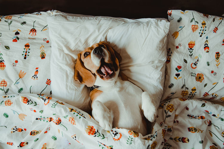 Nuca the beagle, dog in the morning Indoors  Animal Dog Canine One Animal Mammal Domestic Animals Pets Domestic Bed Relaxation Animal Themes Textile Resting Lying Down Sheet Floral Pattern Mouth Open Animal Head  Beagle Beaglelovers Dogs Of EyeEm Smile Morning Morning Light