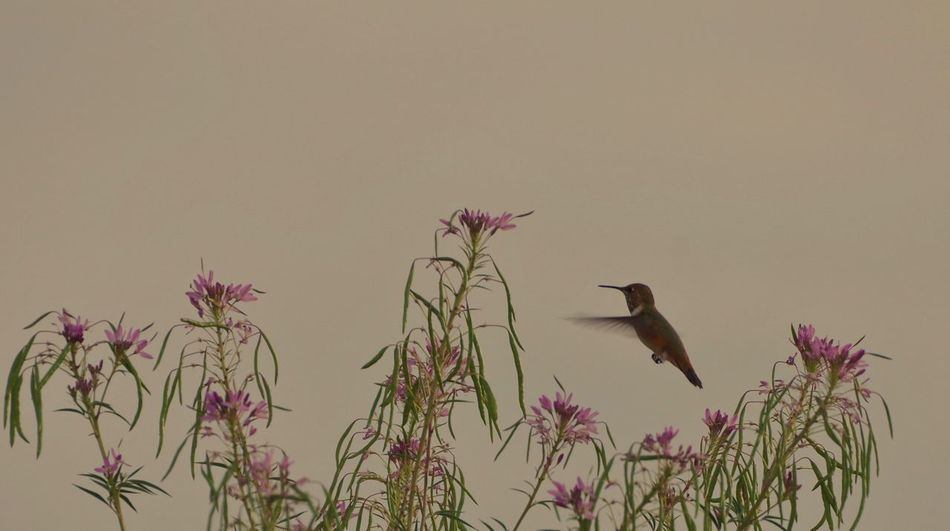 Wild hummingbird Wyoming Wildlife Wyoming Flowers,Plants & Garden Flower Hummingbird Plant Vertebrate Bird Animal Wildlife Animal Themes Animal Animals In The Wild Nature Sky Group Of Animals Perching No People Clear Sky Low Angle View Outdoors Beauty In Nature Branch Growth Day