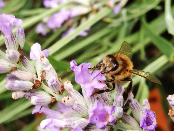 Bees And Flowers Bees Lavender Gardenwildlife Nature Insects