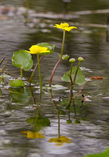 """""""I have found it a singular luxury to talk across the pond to a companion on the opposite side."""" ....Henry David Thoreau.... Marsh Marigold Pond Plants Yellow Petals Stamen Pollen Eyem Best Shots Eyeem Nature Nature Love Photography Love Life Simple Pleasures Simple Quiet Love Flower Water Lake Yellow Reflection Close-up Plant Water Plant Marsh Wetland"""
