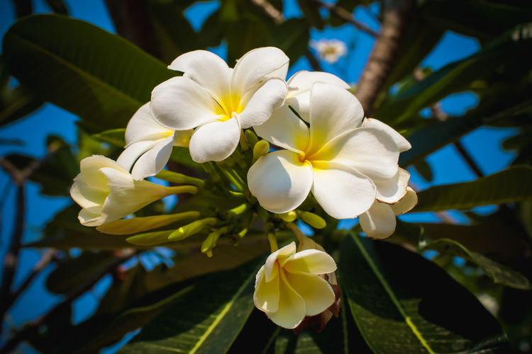 white and yellow Plumeria spp. (frangipani flowers, Frangipani, Pagoda tree or Temple tree) with rain drops on natural background Flowering Plant Flower Plant Growth Beauty In Nature Freshness Vulnerability  Fragility Flower Head Inflorescence Petal Close-up White Color Nature Frangipani Focus On Foreground No People Plant Part Day Leaf Plant Summer White Tropical Plumeria Frangipani Garden Nature Yellow Floral Blooming Spring Blossom Season  Bunch Botany Beauty In Nature Flowery Natural Flora Romance Fragrant Tropics Environment Whiteness Aloha Decoration Backgrounds Leaves Orchid