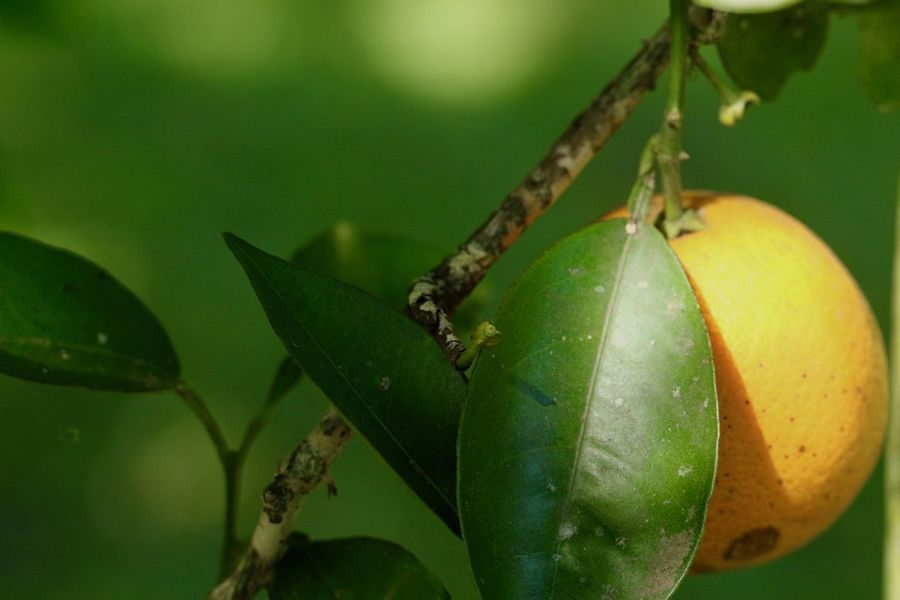 Oranges, ripe and green! Beauty In Nature Close-up Day Freshness Fruits Lover Green Leaves. Green Orange Growth Hanging On The Tree Leaf Leaves_collection Nature Nature_collection No People Outdoors Ripe Oranges Three Tree Tree Branch  Vitamine C