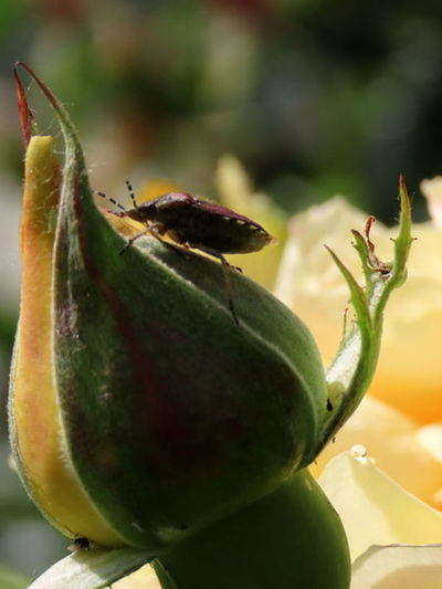 Close-up of insect on fruit