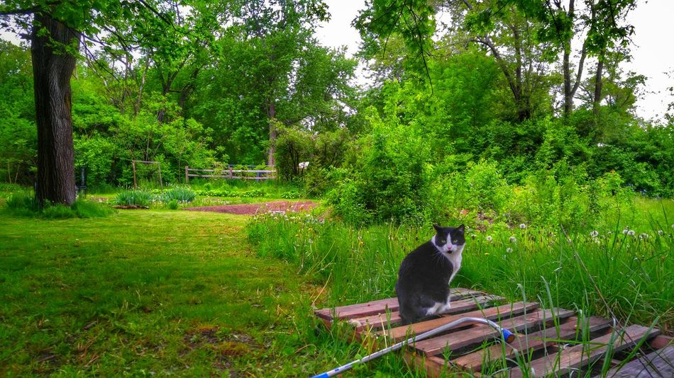 The Essence Of Summer Outdoor Garden Kitty Enjoying Life Summerday Green Grass Tuxedo Cat This Is Summer Loveit Comment Followme Thanks♥