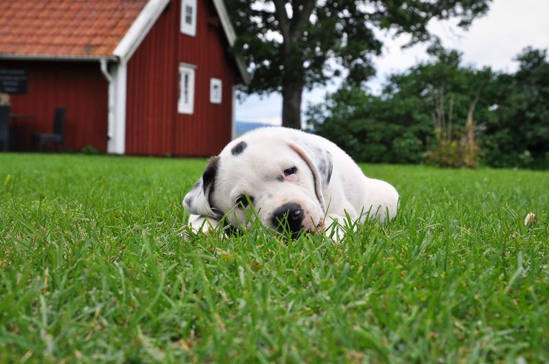 Portrait of dog relaxing on grassy field against red barn