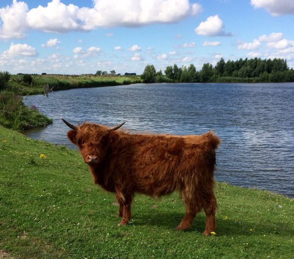 Highland cattle by lake against cloudy sky