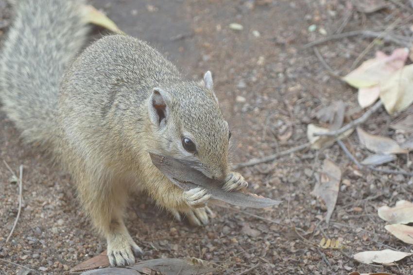 Wildlife Photography GameDrive Animal Animals Nature Safari Savannah South Africa Squirrel Kruger Park Klaserie