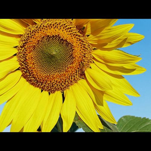 Wind farm sunflower #pollen #honey #bee #43 #olympus #getolympus #e5 #apulia #italy #instapulia #power #energy #landscape #dxo Bee Landscape Italy Pollen Olympus Power Honey Energy 43 Apúlia E5 Getolympus Dxo Instapulia