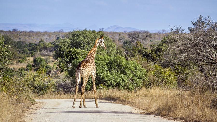 Giraffe standing on land against trees