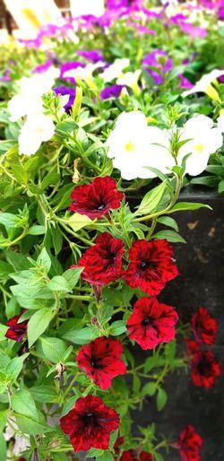 Flower Red Leaf Close-up Plant
