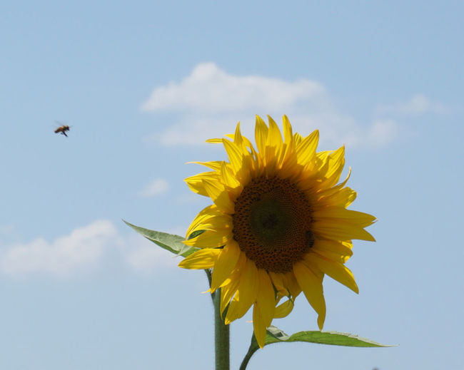 View of sunflower against sky