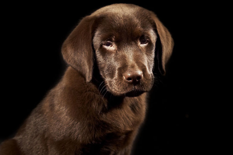 Portrait of chocolate labrador over black background
