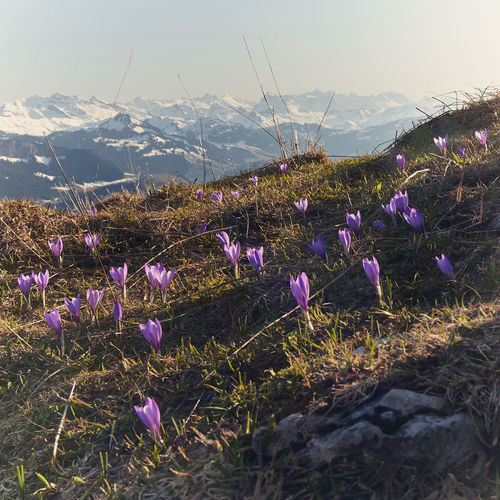 Beauty In Nature Crocus Day Environment Field Flower Flower Head Flowering Plant Fragility Freshness Growth Iris Land Landscape Mountain Nature No People Outdoors Plant Purple Sky Springtime Tranquil Scene Tranquility Vulnerability