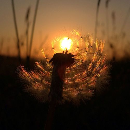 Dandelion In The Sunset Getty Images Dandelions Selected For Premium Silhouette Beauty In Nature EyeEm Nature Lover Dandelion Dandelion Seed Sunset No People Sky Nature Orange Color Plant Beauty In Nature Illuminated Focus On Foreground Close-up Scenics - Nature