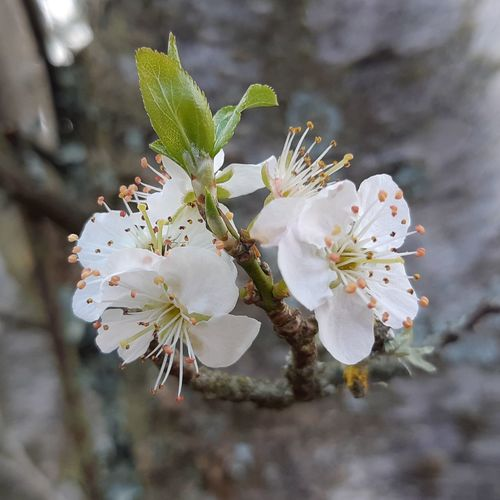 2/3 My Winter In New Zealand From My Plum Tree The Beauty Around Me Christmas Plums Plum Tree Another View Plum Tree Blossom In My Garden Flower Head Tree Flower Branch Springtime Plum Blossom Pink Color Blossom Stamen White Color Fruit Tree Twig Pollen Blooming In Bloom
