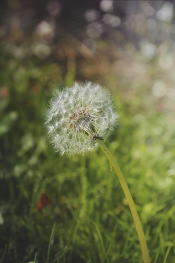 Summer is near Nature Growth Flower Dandelion Fragility Plant Beauty In Nature Outdoors No People Close-up Day Dandelion Seed Flower Head Freshness Dandelion Seed Dandelions Dandelion In Spring