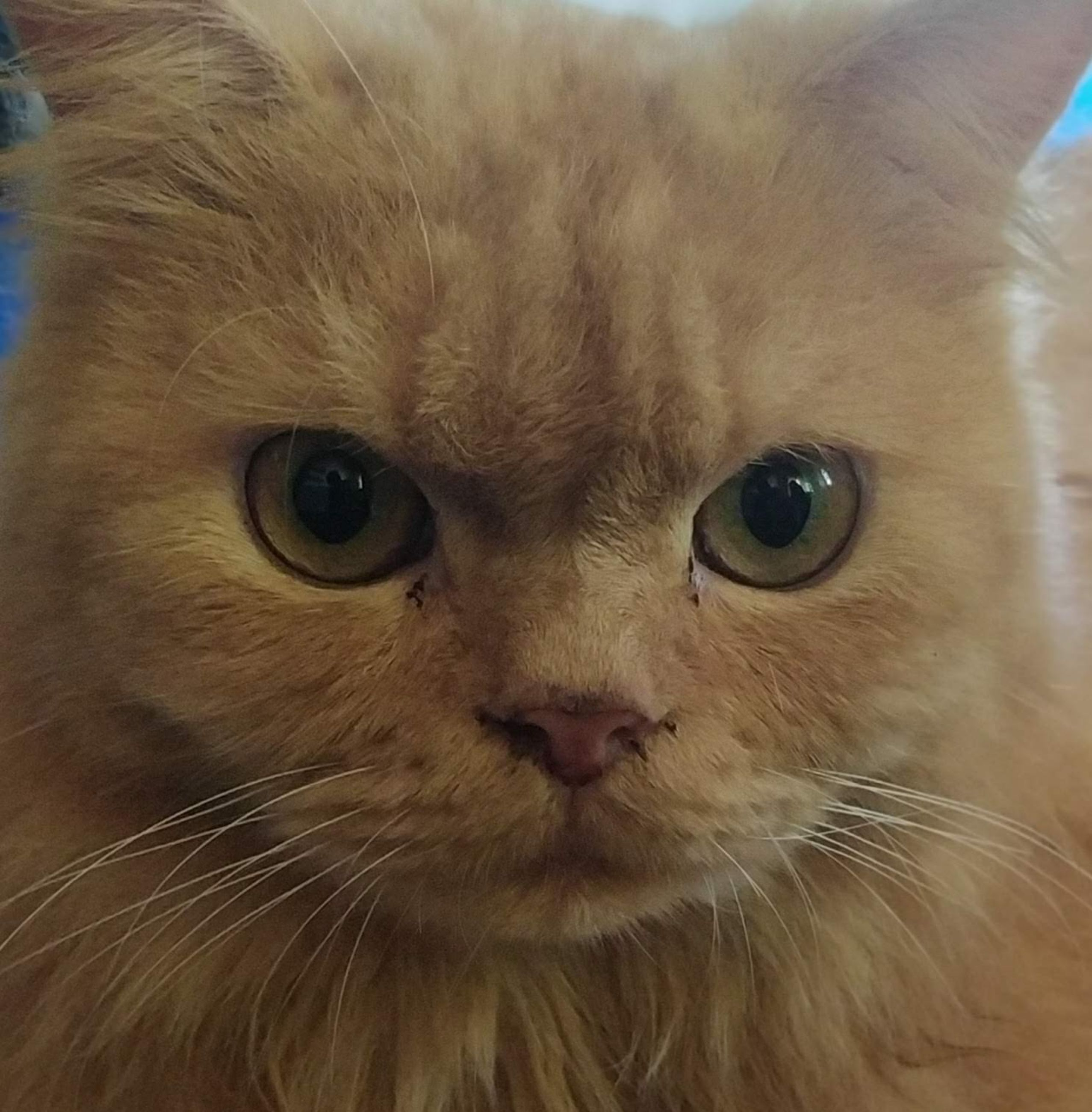 cat, pet, animal themes, animal, mammal, one animal, domestic animals, animal body part, feline, domestic cat, felidae, nose, whiskers, close-up, small to medium-sized cats, domestic long-haired cat, portrait, looking at camera, eye, animal head, british semi-longhair, animal hair, no people, carnivore, animal eye