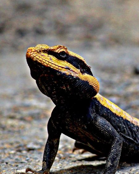 Reptile One Animal Focus On Foreground No People Day Outdoors Close-up Nature Lizard Rock Agama Garden Lizard Photography Canon