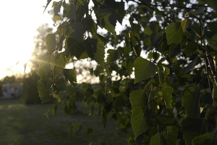 Baum Blätter Green Color Growth Nature Outdoors Plant Planzen Sonne Sonnenuntergang Sun Sunbeam Sunlight Sunset Tree