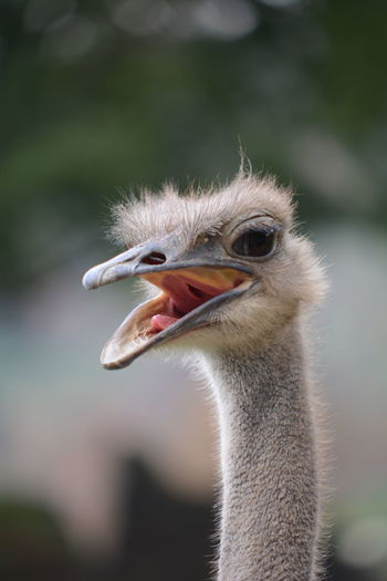Close-up of ostrich with mouth open