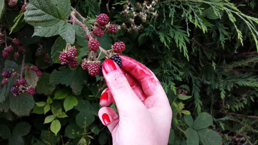 Woman's Hand Covered In Red Juice Reaching For Blackberries From Bush