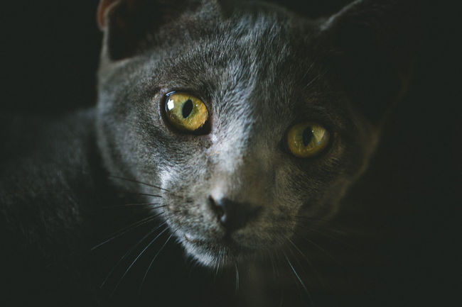 Cat Thailand Cat Thailand :) Animal Cat Close-up Eye Looking At Camera Yellow Eyes