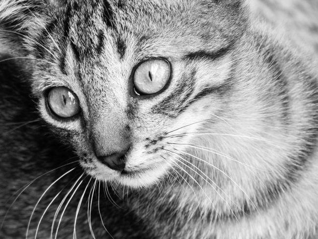 © www.rodiphotography.com Love Black And White Falling In Love Joy Eyes Yellow Eyes Animal Eye Green Eyes Animal Face Cat HEAD Tabby Cat Animal Nose Animal Mouth At Home Stray Animal Animal Head  Animal Ear Eye Adult Animal