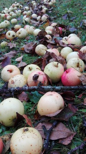 Apples Harvest Nature Garden In The Garden Fruit Nature Photography Estonian Nature Tasty Juicy Baltics Food Photography Food Food Porn Healthy Food Autumn Leaves Ground Wet After The Rain яблоки фрукт природа эстонии Еда