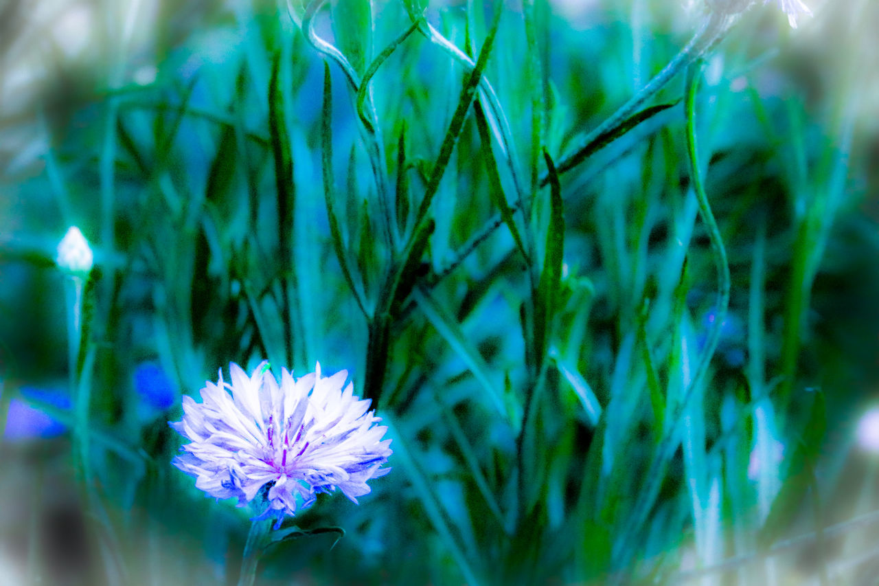 flower, nature, growth, beauty in nature, fragility, plant, petal, freshness, flower head, no people, close-up, outdoors, green color, blooming, day