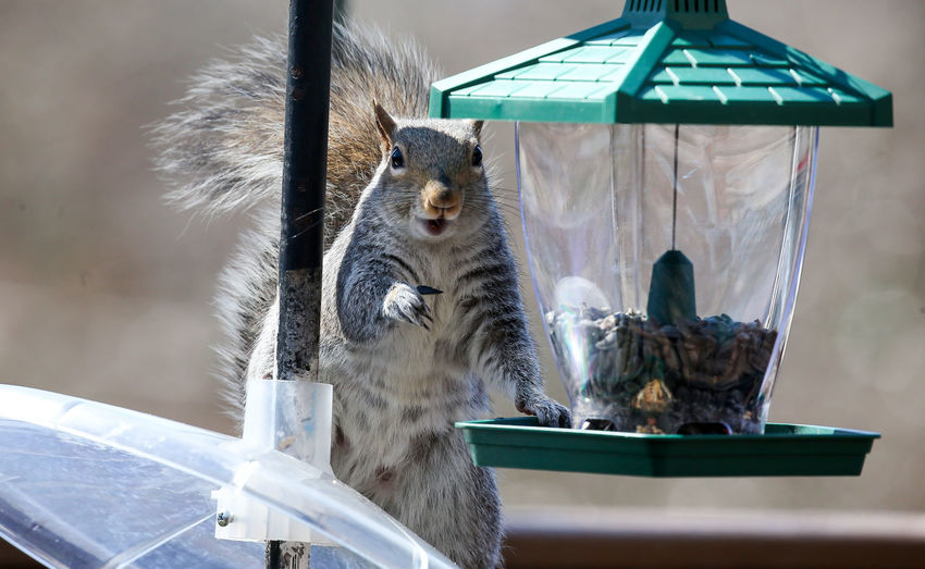 Beat the baffle Suirrel Suirrel Baffle Animal Themes Animals In The Wild Bird Feeder Bird Seed Close-up Day Food Mammal No People Outdoors Posing For The Camera Smile Squirrel Grinning Sunflower Seeds Theif