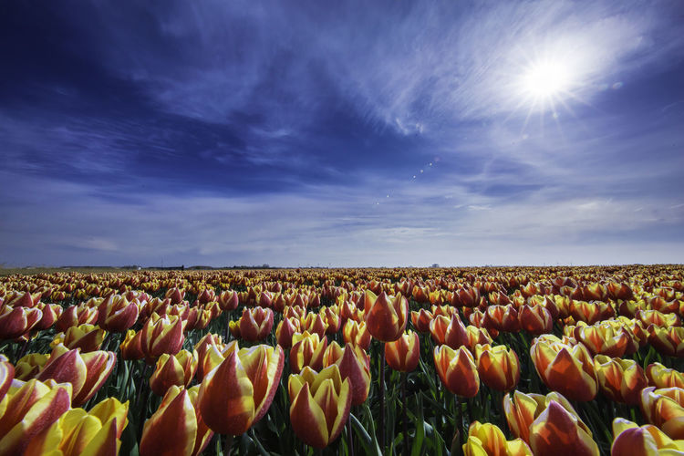 Agriculture Beauty In Nature Blossom Cloud - Sky Flower Flower Head Horizon Over Land Landscape Nederland Sky Summer Tranquility Tulips