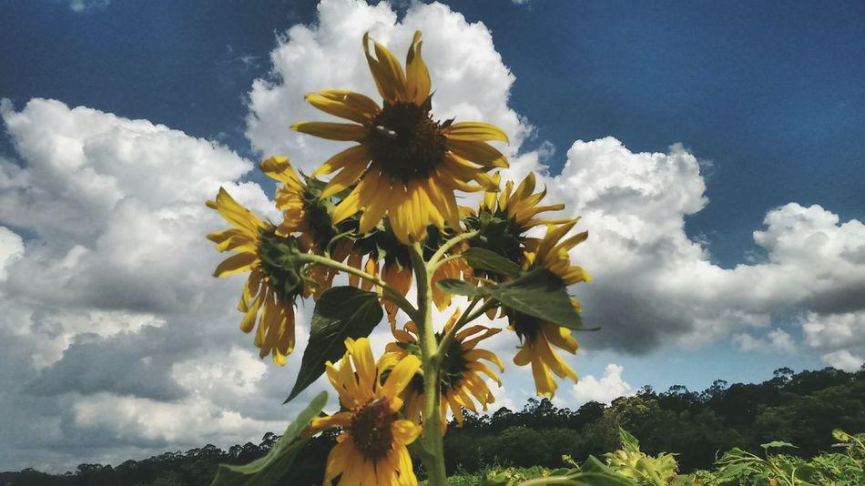 Dandylion Girassol Blue Sky Yellow