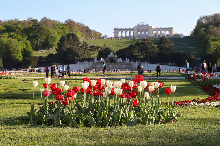 red and white tulips with the Gloriette in the Schönbrunn Palace Garden Plant Nature Group Of People Flower Day Grass Flowering Plant Large Group Of People Crowd Real People Growth Tree Red Men Sky Architecture Green Color Travel Leisure Activity Outdoors