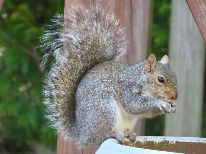 Squirrel 🐿 closeup eating a peanut perched on a planter side view focus on the foreground outdoors Animal Themes Rodent One Animal