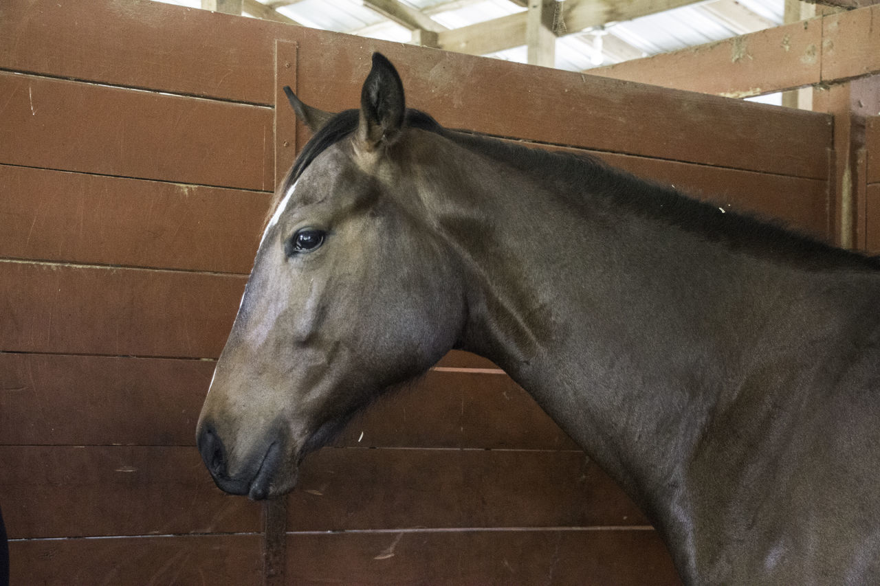 horse, domestic animals, one animal, mammal, animal themes, stable, livestock, animal head, no people, indoors, day, pets, close-up